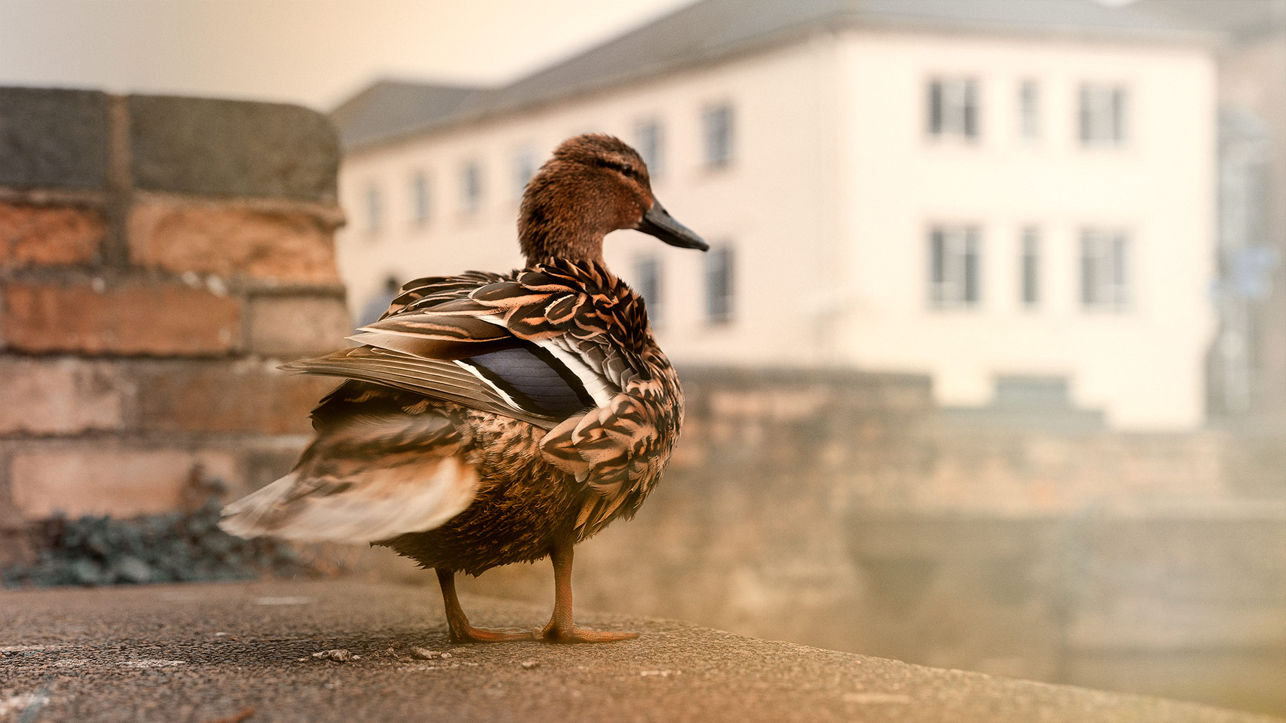 Good Boy Wolf Photographer, filmic landscape,  Cambridge, large male duck stood on a wall