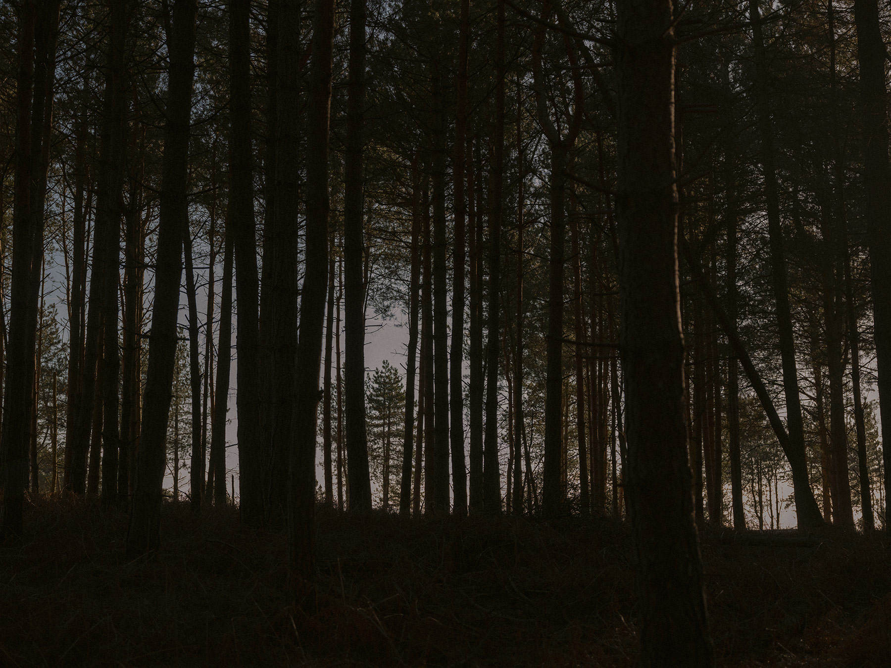 Good Boy Wolf Photographer, filmic landscape, dark trees in a wide forest with little light