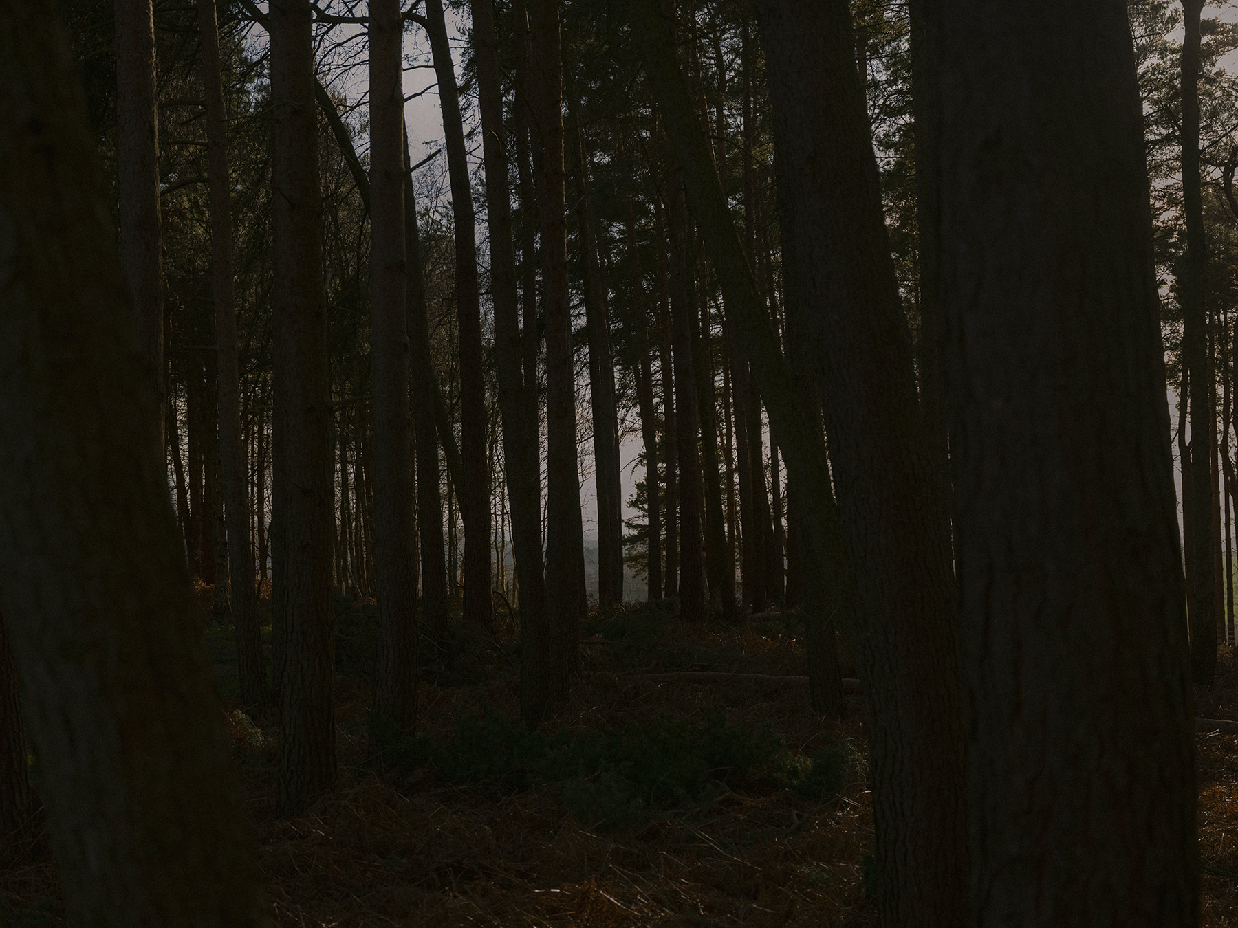 Good Boy Wolf Photographer, filmic landscape,  dark trees in a dark forest